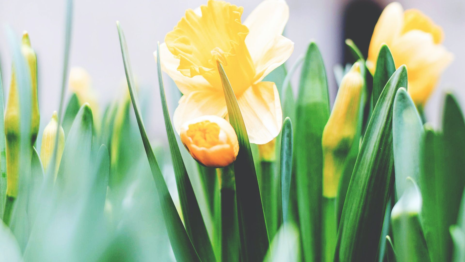 ein Bild von gelben Tulpen